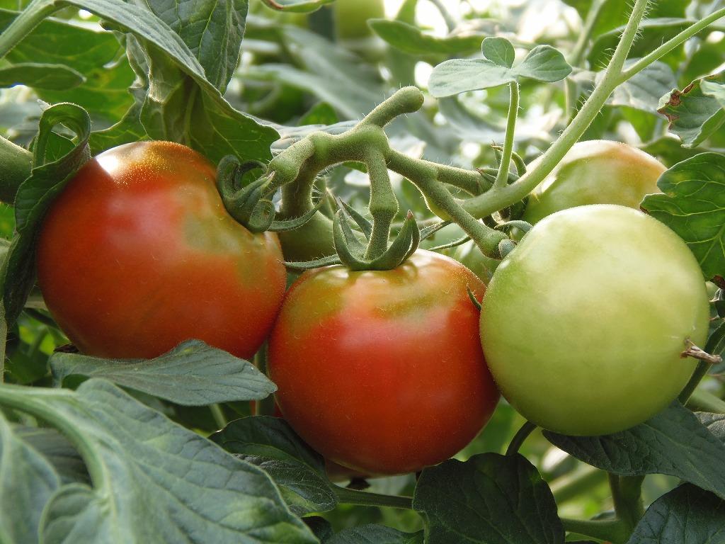 極旨トマト エンペラー・赤
