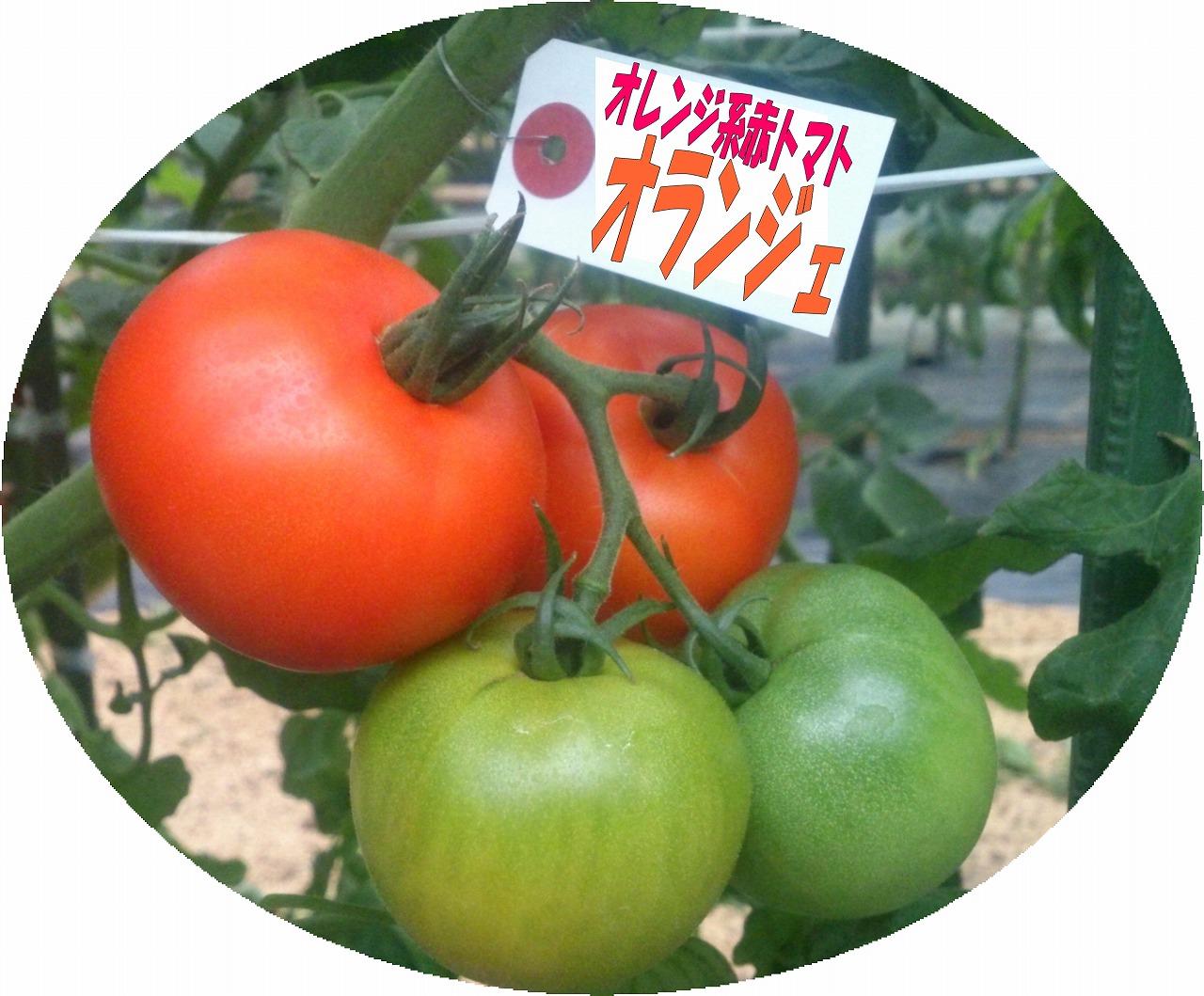 極旨トマト オランジェ <オレンジ系赤トマト>